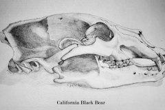 California-Black-Bear